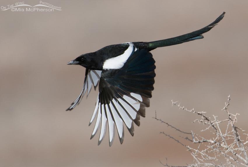 Black-billed Magpie in flight