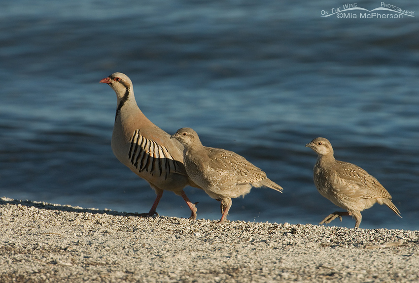 Adult Chukar with chicks on the shoreline of the Great Salt Lake