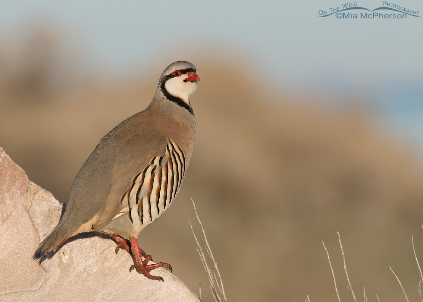 A Chukar with the Great Salt Lake in the background