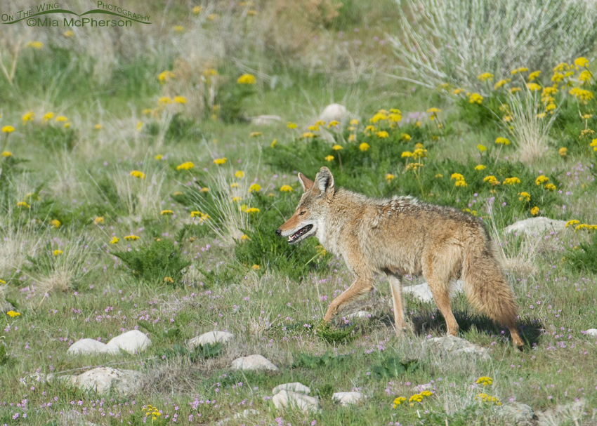 Coyote surrounded by Gray's Biscuitroot
