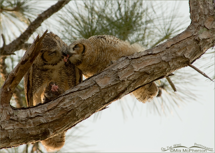 Great Horned Owl adult feeding fledgling