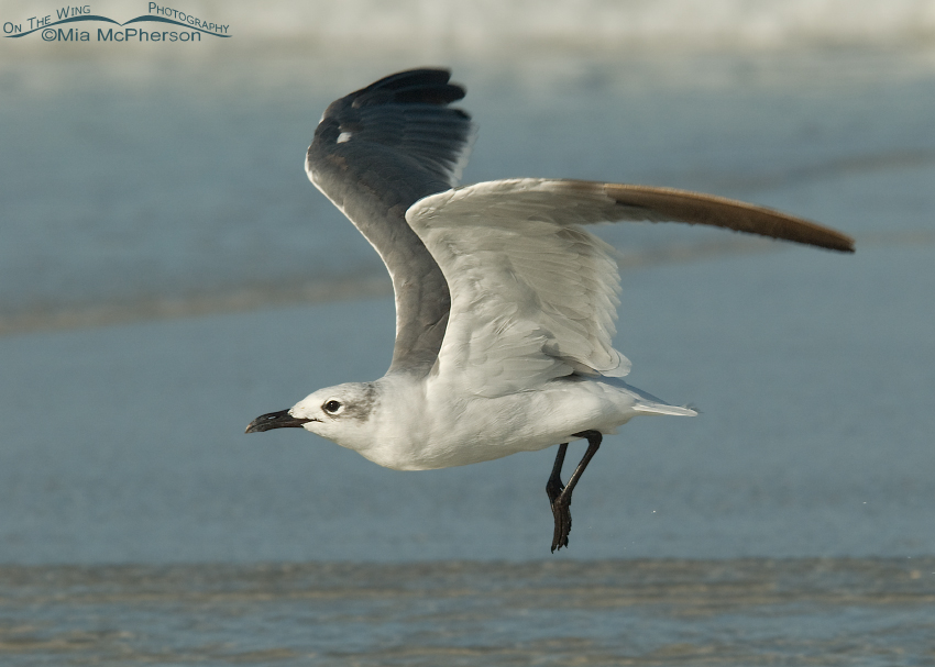 Laughing Gull in nonbreeding plumage