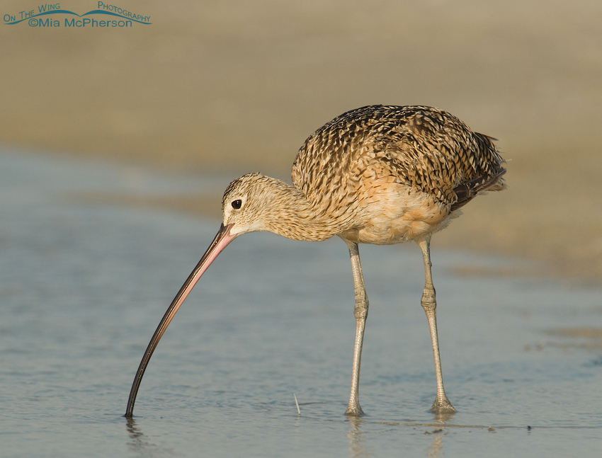 Long-billed Curlew feeding in a lagoon
