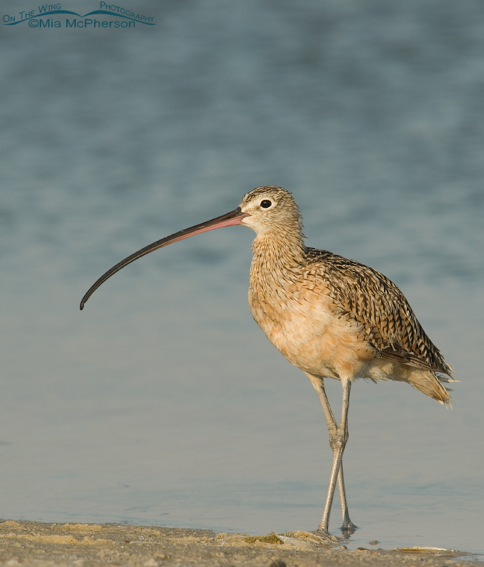 Long-billed Curlew at the edge of a lagoon