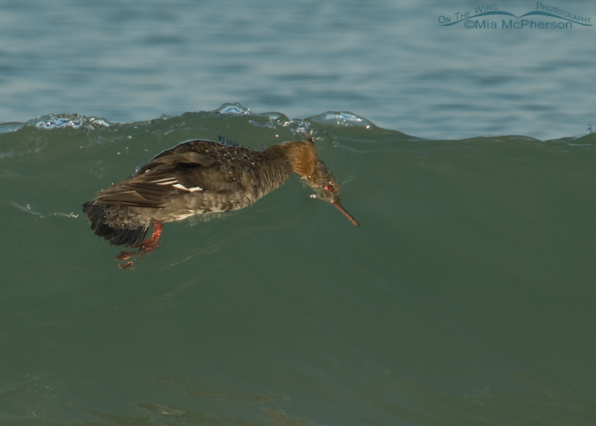 Red-breasted Merganser diving into a wave