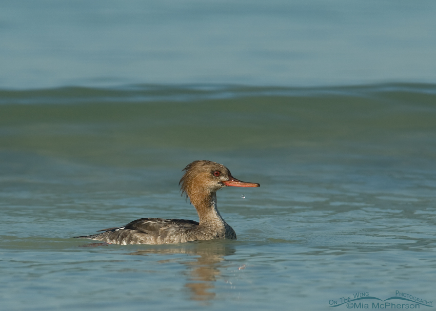 Red-breasted Merganser in the waves