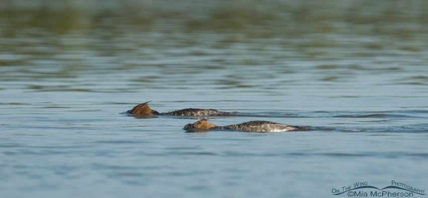 Red-breasted Mergansers foraging with their heads submerged