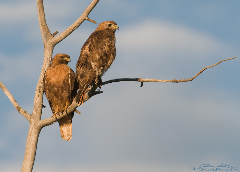A pair of adult Red-tailed Hawks
