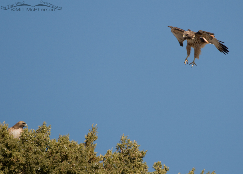 Male Red-tailed Hawk spiraling towards the female