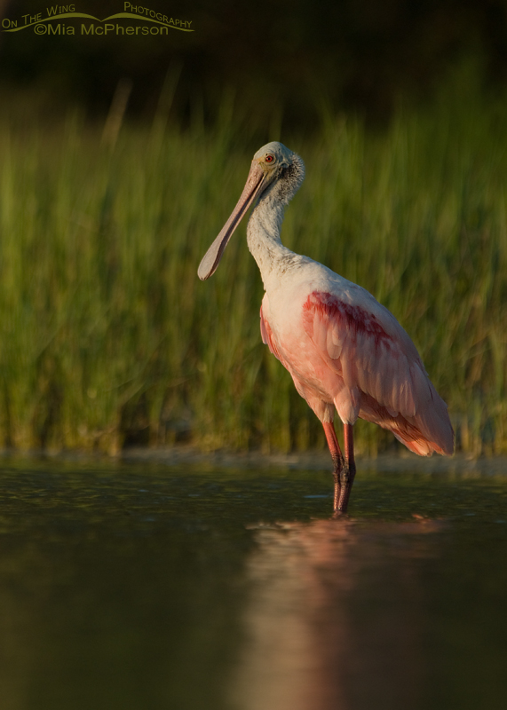 Sunset and a Roseate Spoonbill