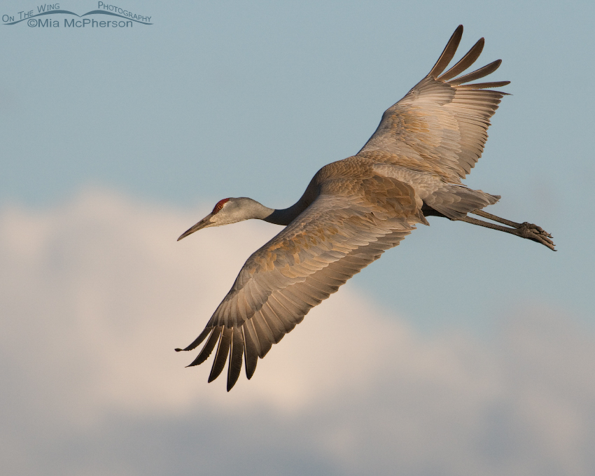 A Sandhill Crane in flight