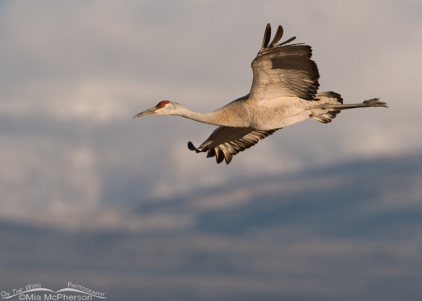 Sandhill Crane in flight with Thousand Lake Mountain in the background