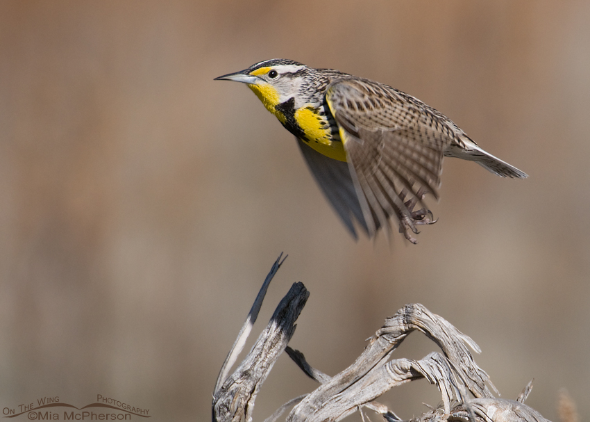 Flying Western Meadowlark