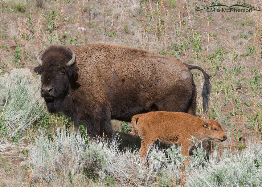 American Bison calf and cow on Antelope Island State Park