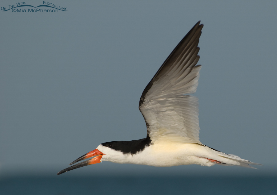 Black Skimmer in flight close up