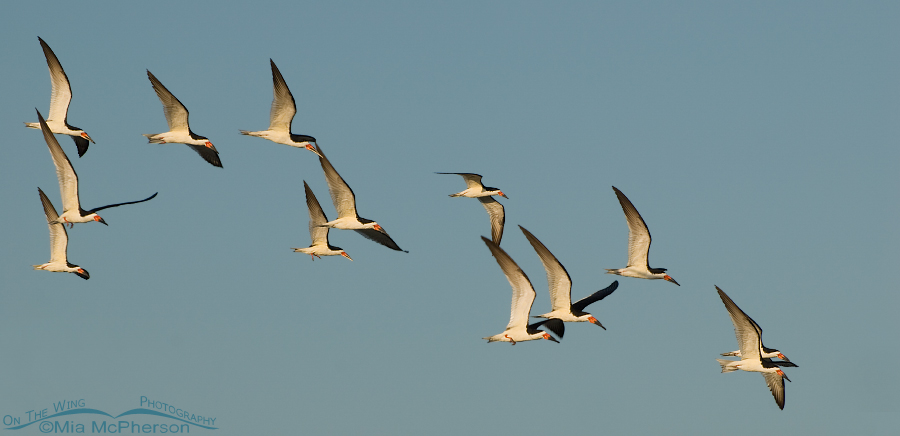 Black Skimmers flying over the Gulf of Mexico