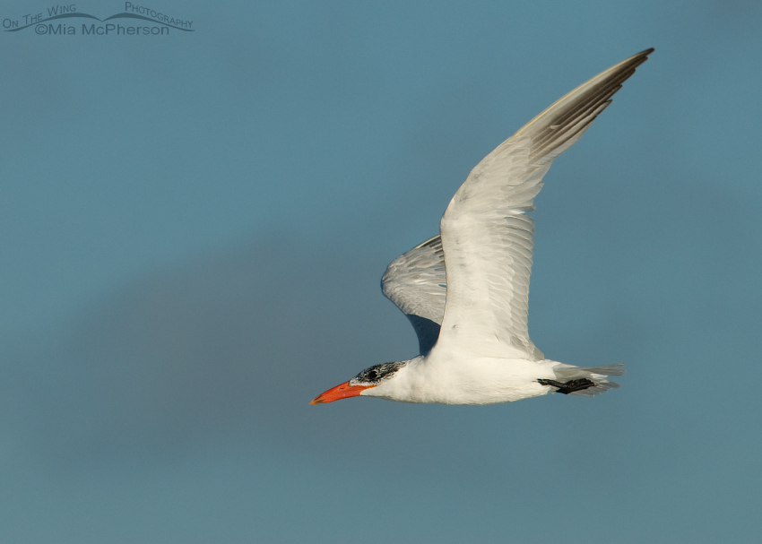 Nonbreeding Caspian Tern in flight