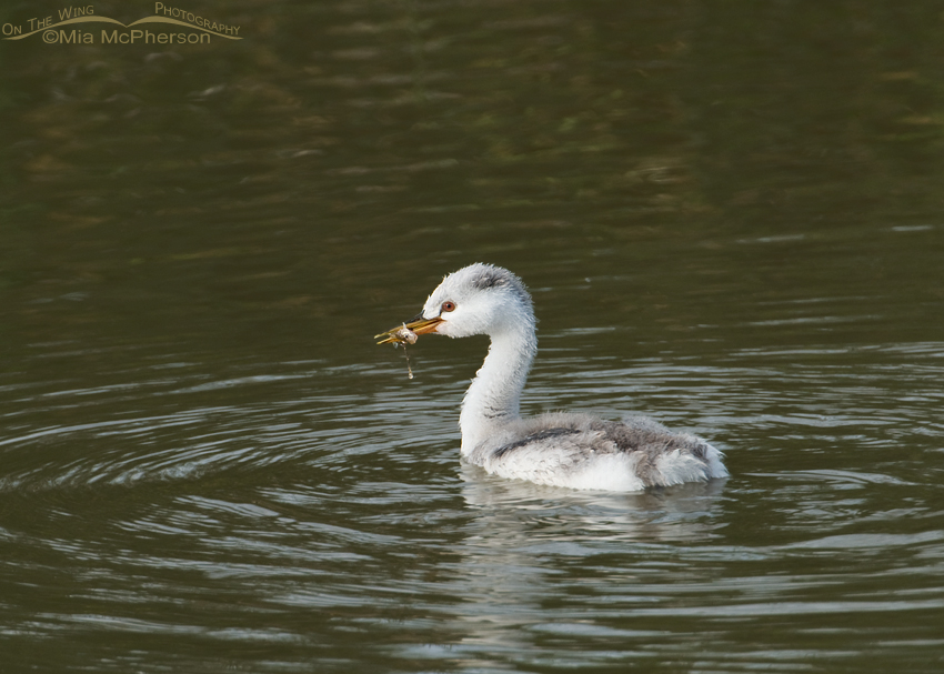 Juvenile Clark's Grebe and prey