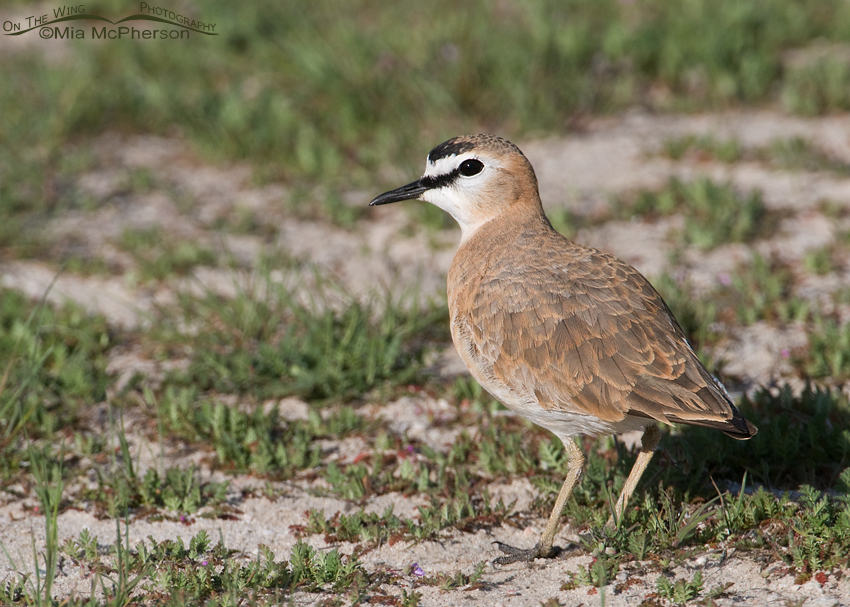 Male Mountain Plover
