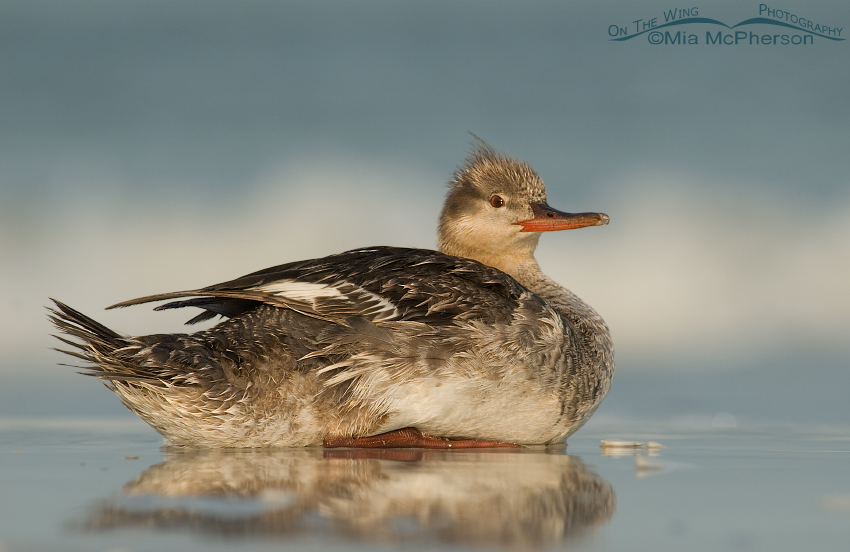 Red-breasted Merganser at rest on the Gulf shore