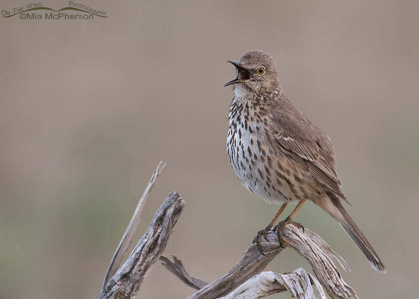 Singing Sage Thrasher