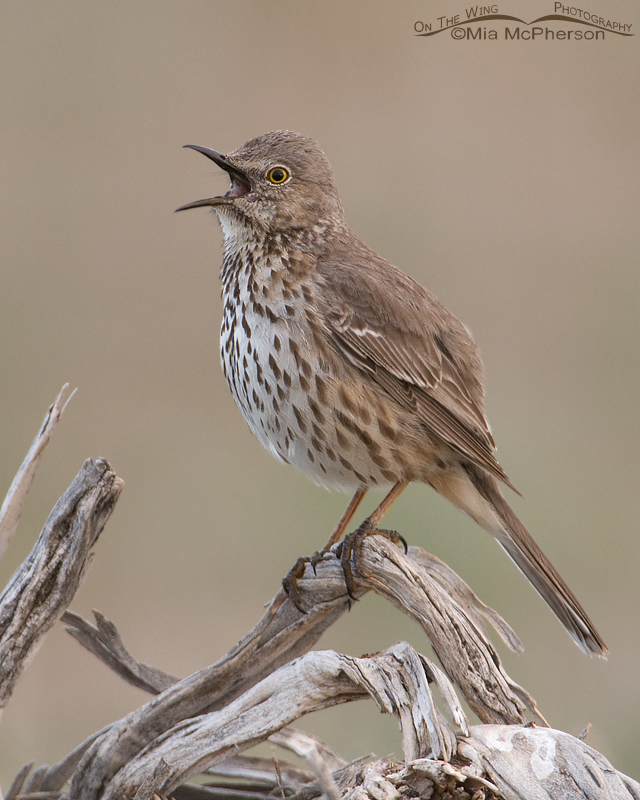 Sage Thrasher singing on Antelope Island State Park