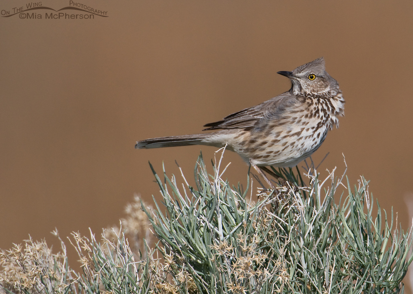 Windblown Sage Thrasher