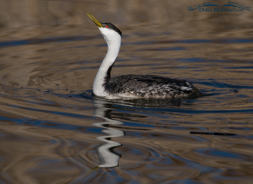 Western Grebe drinking and a squiggly reflection