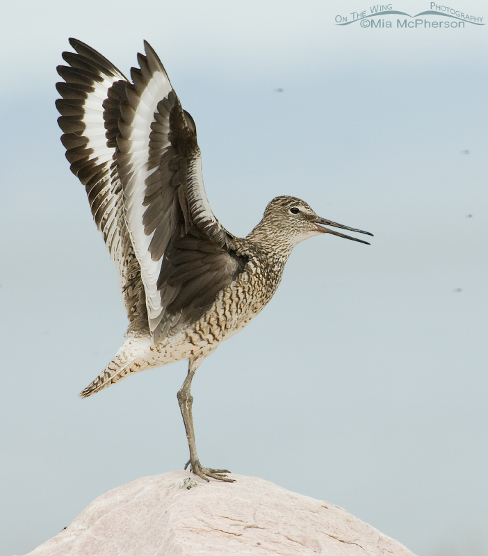 Willet in breeding display