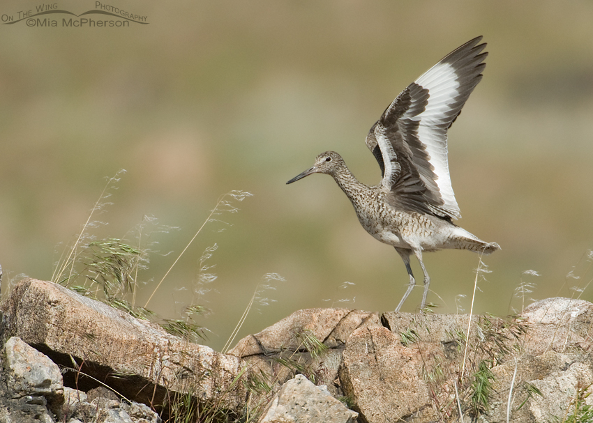 Willet on the rocks of Antelope Island State Park