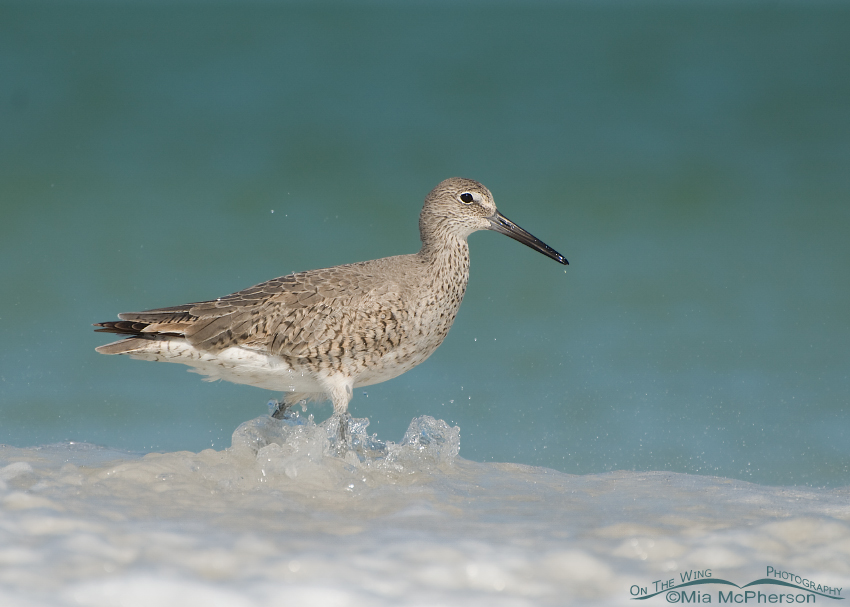 Willet foraging in the Gulf of Mexico on Egmont Key National Wildlife Refuge