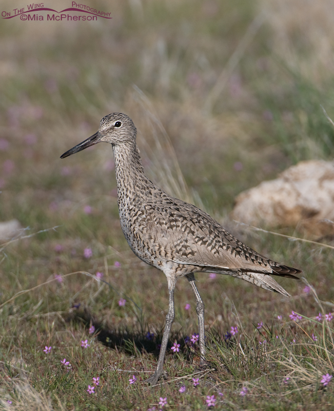 A Willet and Redstem Filaree