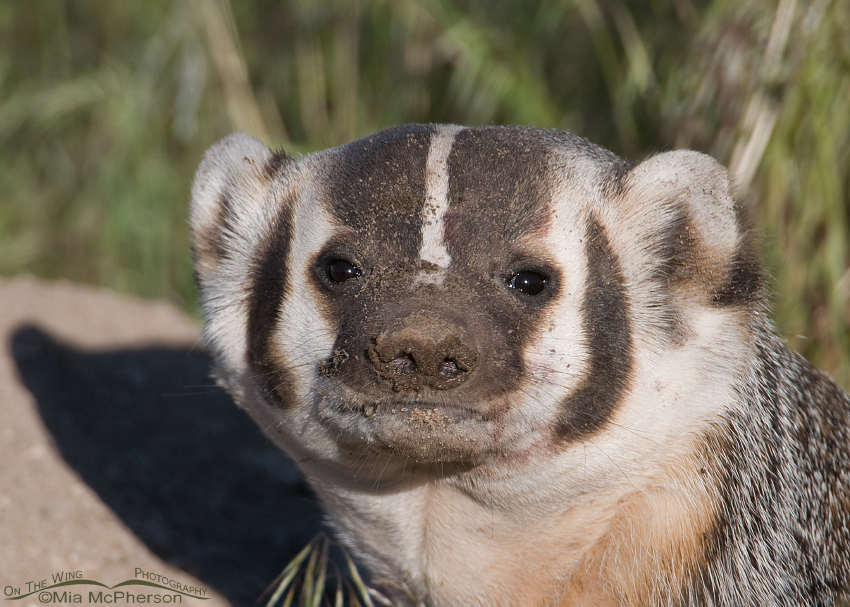 Close up of the dirty face of an American Badger