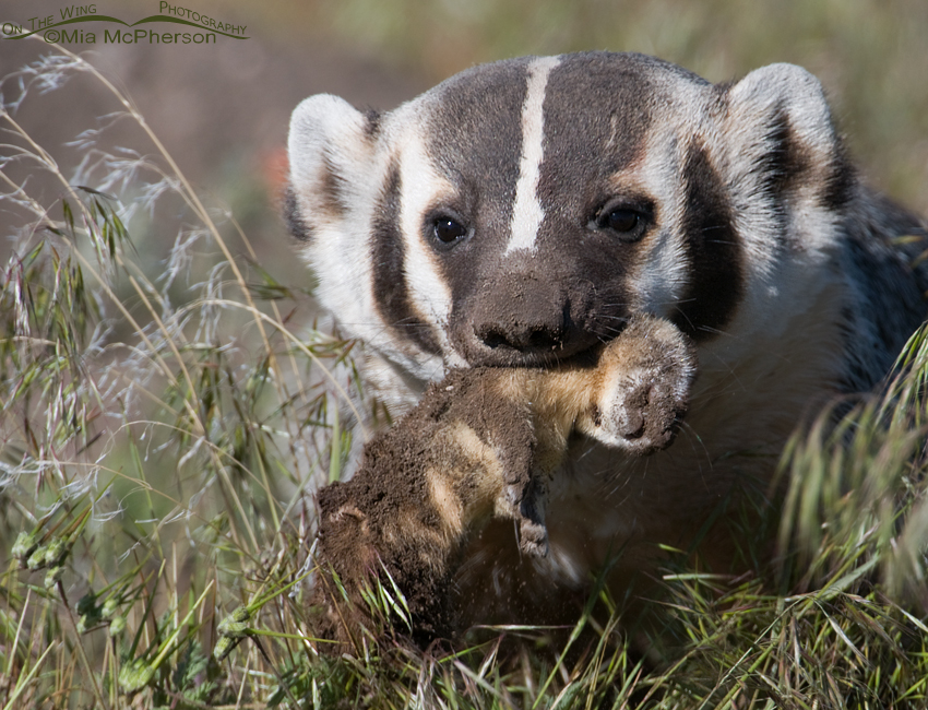 An American Badger with a Long-tailed Weasel
