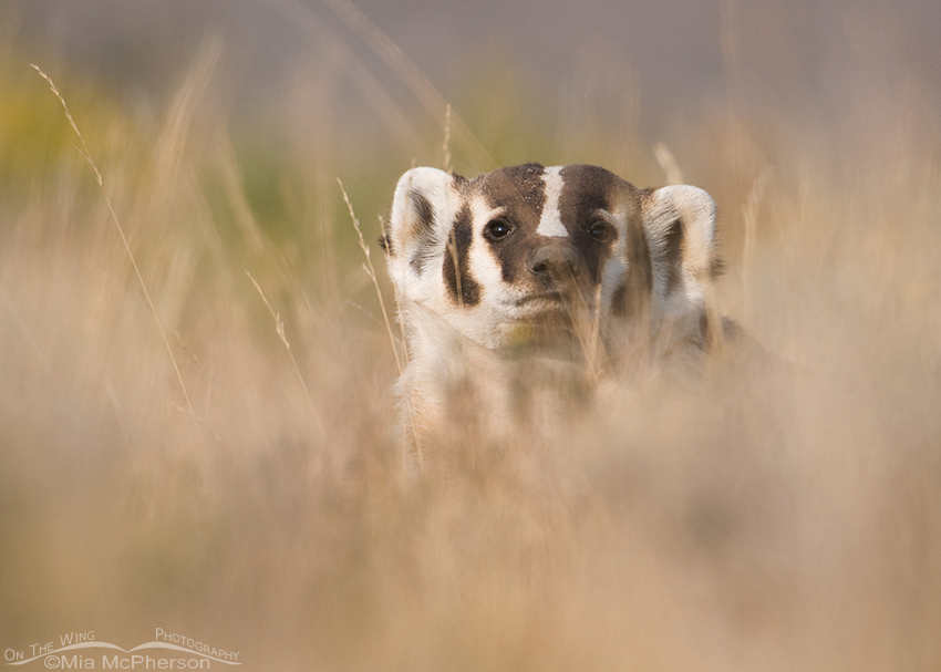 Hidden American Badger