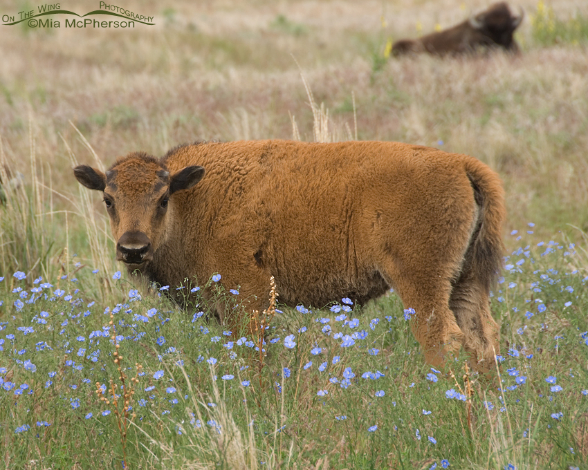 Lewis's Flax and an American Bison calf