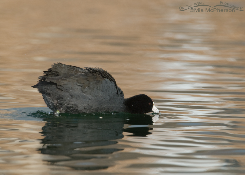 American Coot in a defensive posture