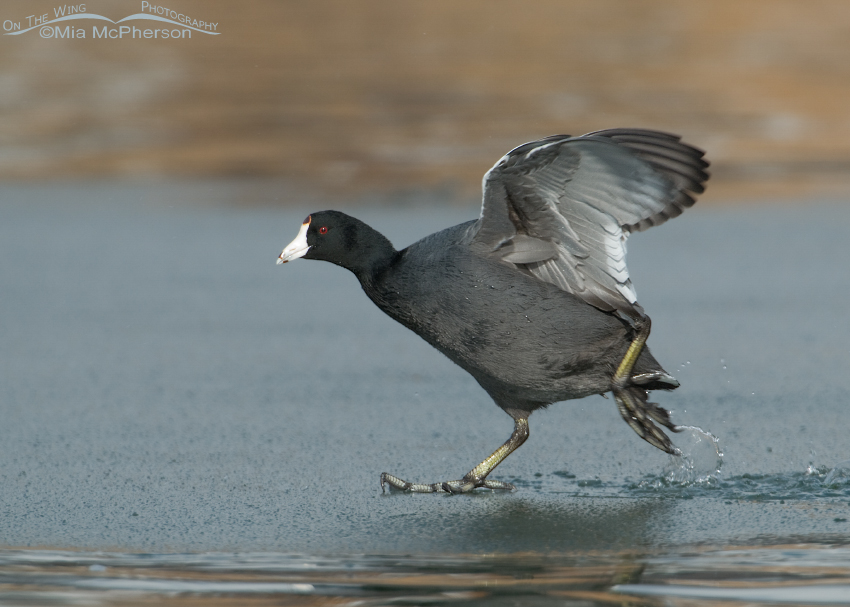 American Coot fleeing from an attack