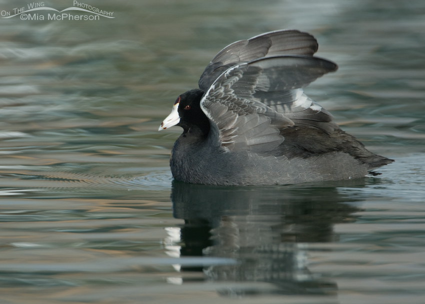 American Coot wing flap