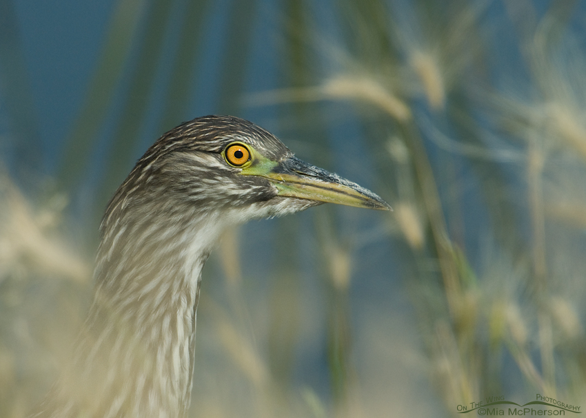 Juvenile Black-crowned Night Heron stalking prey in a marsh