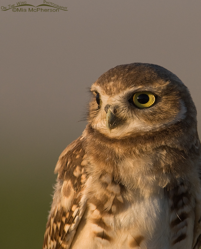 A simple Burrowing Owl juvenile portrait