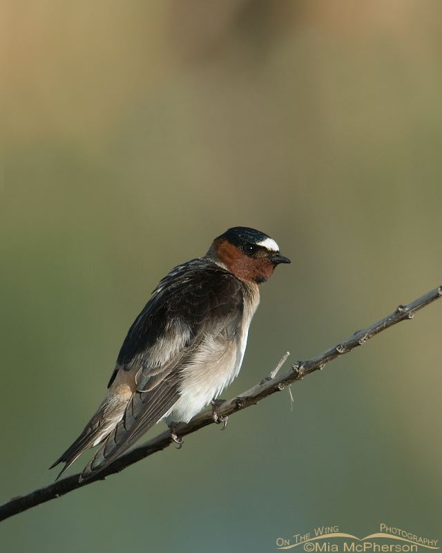 Cliff Swallow at Bear River
