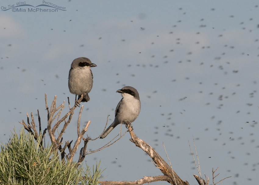 A pair of Loggerhead Shrikes in a cloud of Midges