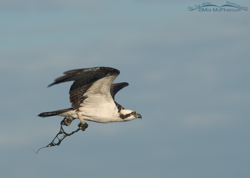 Osprey with its feet entangled by filamentous algae