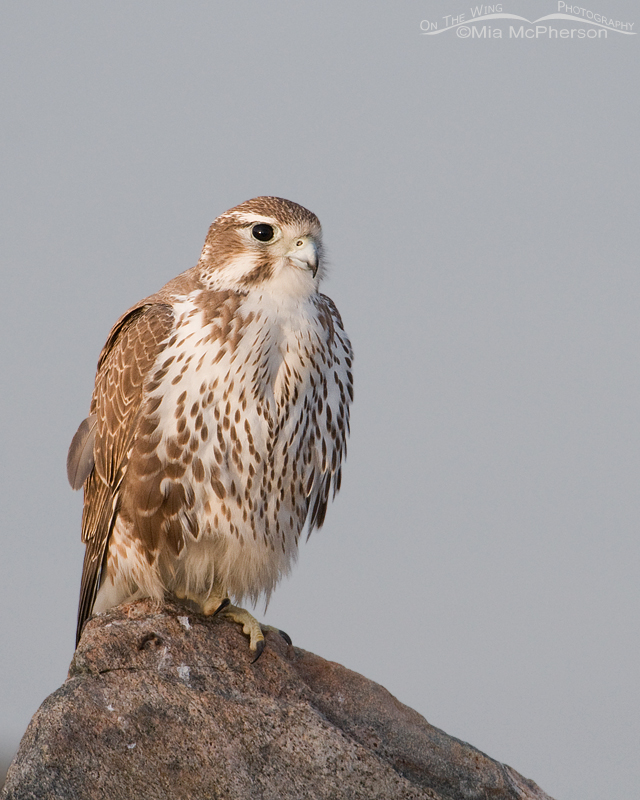 A first year Prairie Falcon