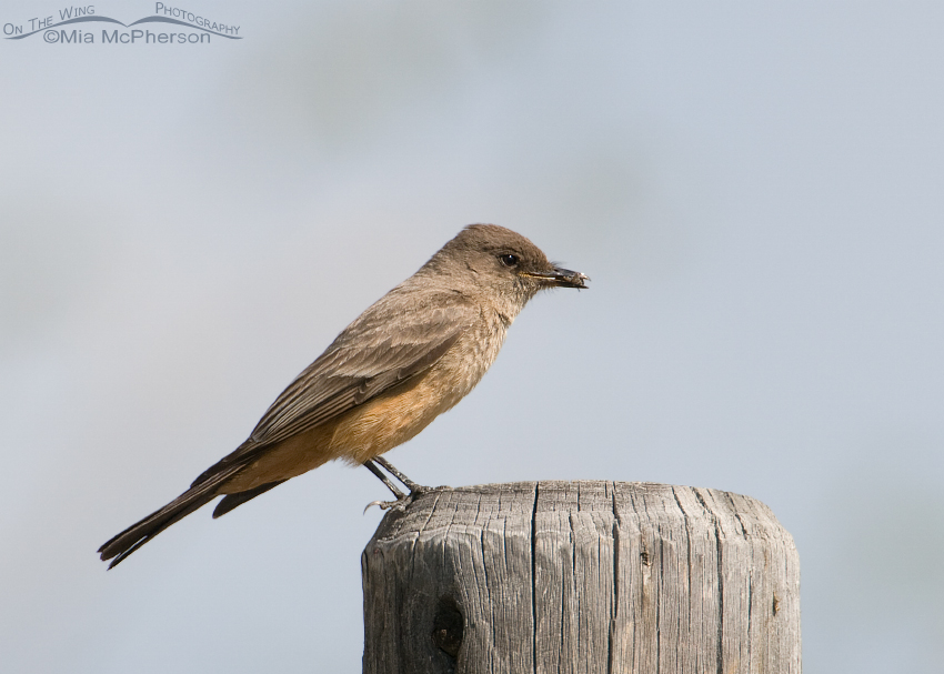 Say's Phoebe with prey