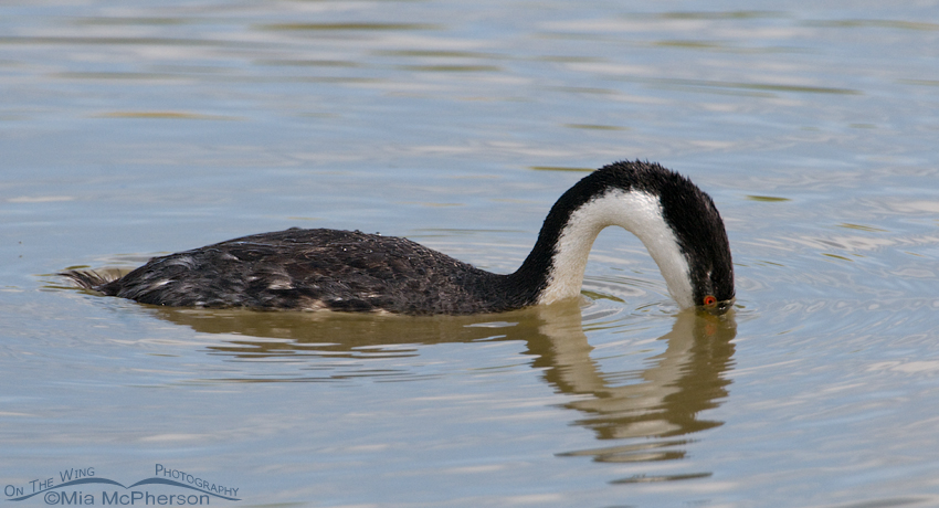 Western Grebe about to submerge