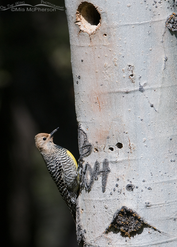 Female Williamson's Sapsucker just after she flew in