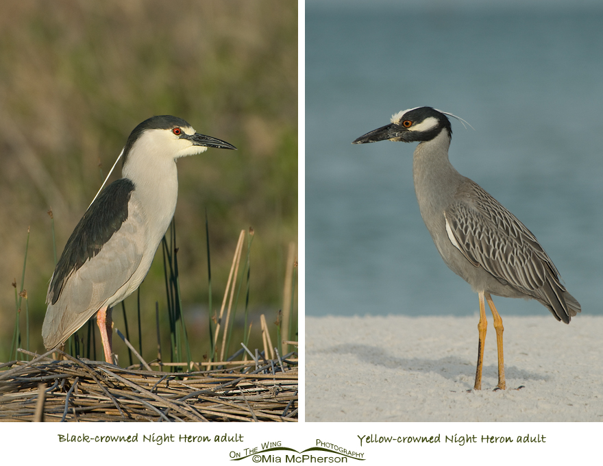 Black-crowned and Yellow-crowned Night Heron adults