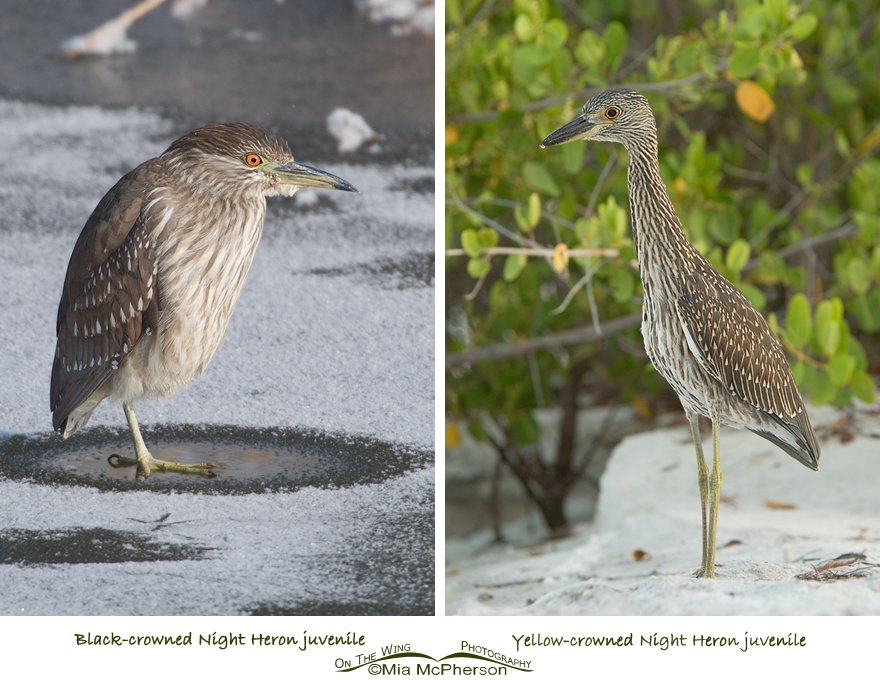 Black-crowned and Yellow-crowned Night Heron juveniles
